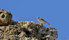 Australian Kestrel Falco cenchroides by Neil Cheshire