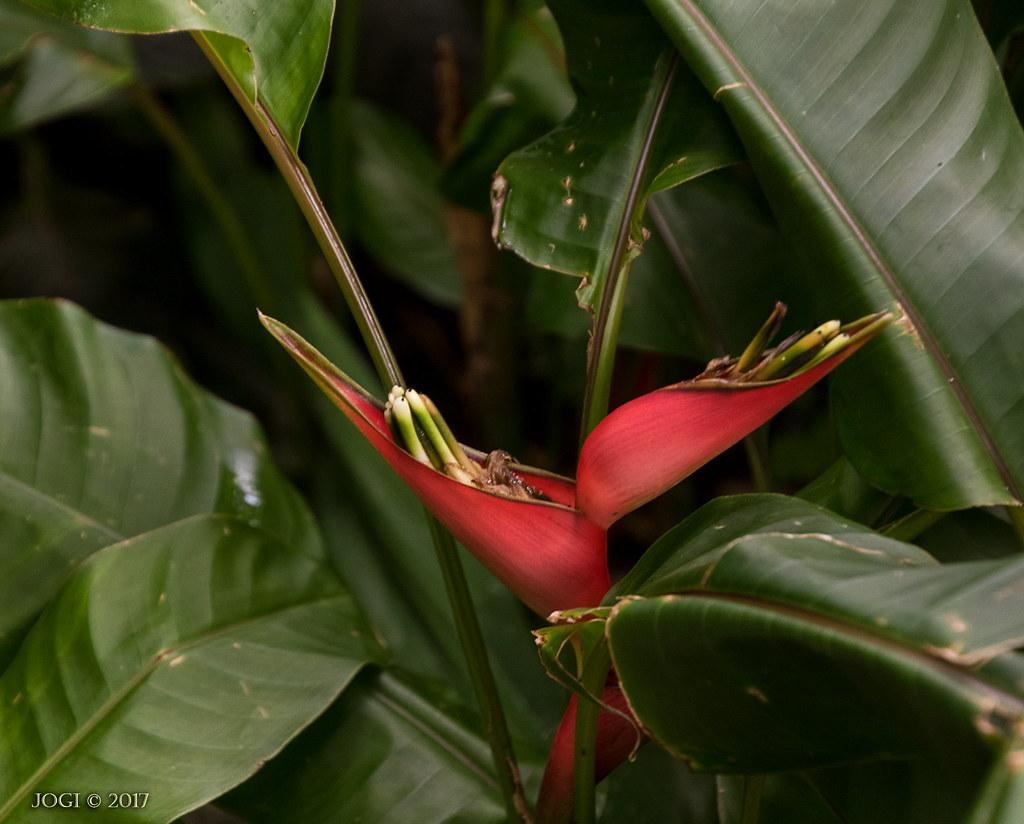 """Leipzig, """"Botanischer Garten"""", Bananenblättrige Hummerschere (Heliconia stricta)"""