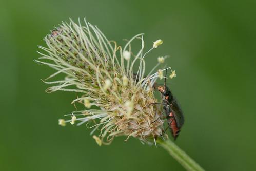 Zweifleckiger Zipfelkäfer (Malachius bipustulatus)