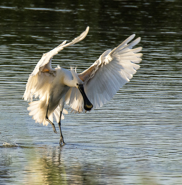 spoonbill coming in to land at dusk  (in Explore)