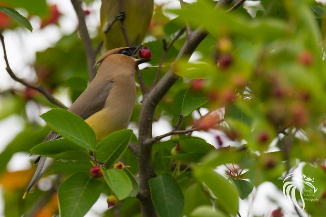 The Cedar Waxwing | 2017 - 1
