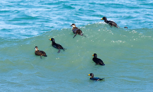 Black Scoters | by Sergey Yeliseev