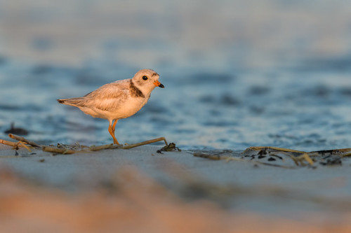 shorebird pipingplover sand ocean sunset wildlife charadriusmelodus bird light water beach stoneharbor nature stoneharborpoint shore newjersey unitedstates us nikon d500