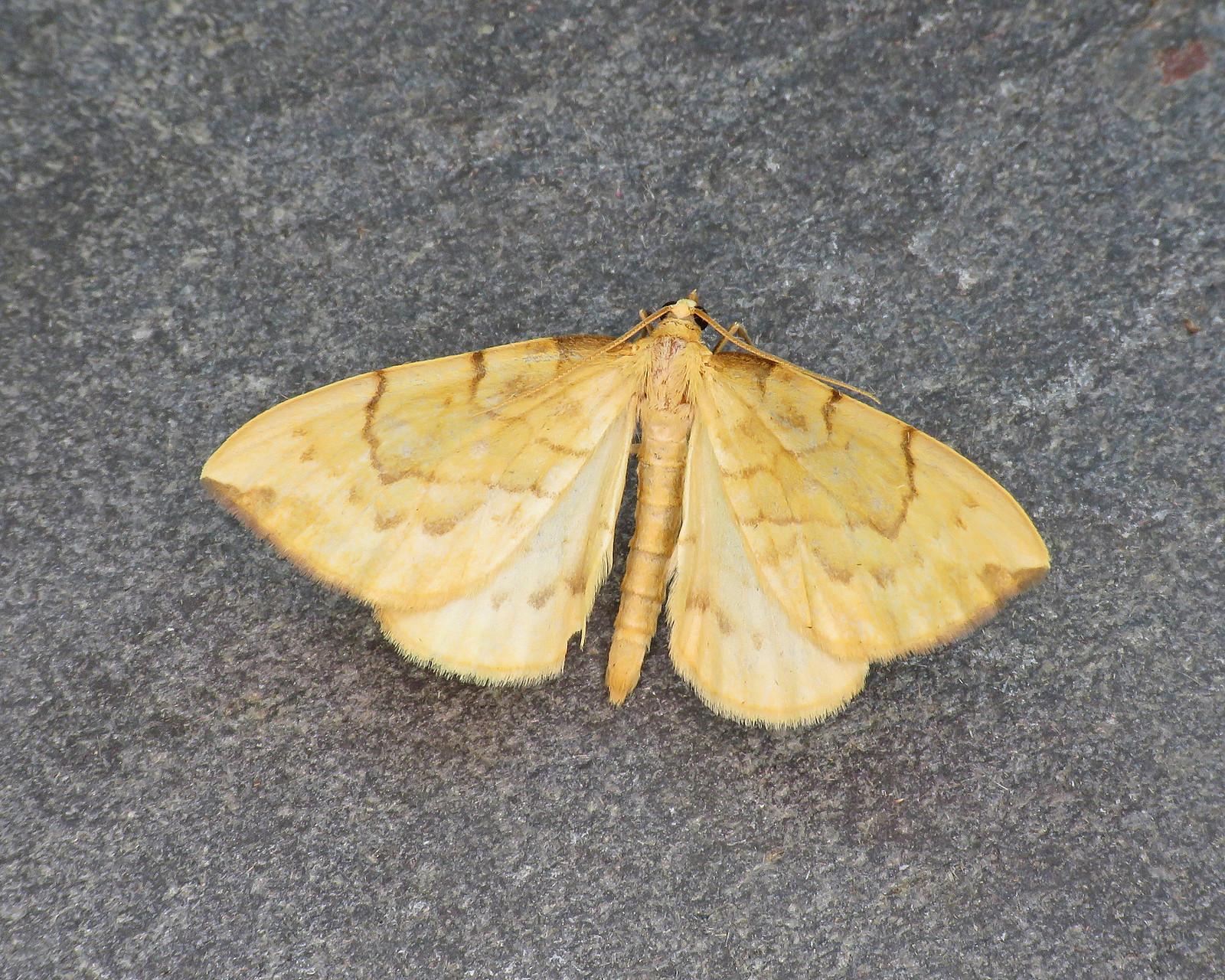 70.093 Barred Straw - Gandaritis pyraliata