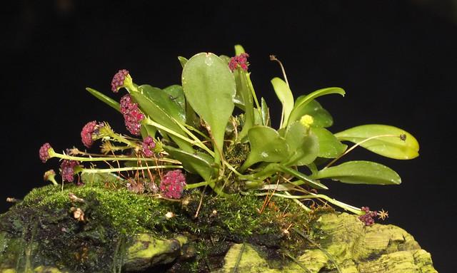 Umbellate orchid (Platystele (Platystele) umbellata)