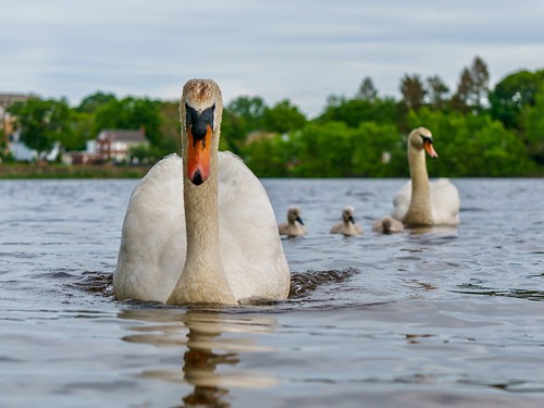 wildlife wildlifewednesday family birds charge pond cygnets angry massachusetts ellpond boston swan bird melrose animals newengland a6000 nature cygnet babyswans sony