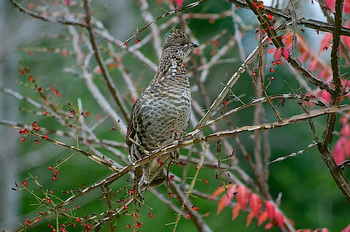 Bird-1-Ruffed-Grouse | by normhead