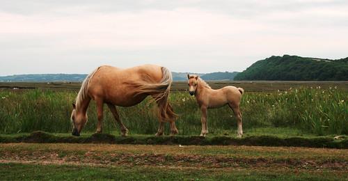ue eu ewrop europe eòrpa europa aneoraip a'chuimrigh kembra wales cymru kembre gales galles anbhreatainbheag 威爾斯 威尔士 wallis uels kimrio valbretland 웨일즈 велс เวลส์ poney poni pone ceffyl kazeg horse zaldi cheval cabbyl equuscaballus ló hoiho each zirgs arklys cavallo caballo pferd лошадь فرس hobune hest kůň άλογο capal gŵyr gower morgannwg glamorgan llanmadog burrypill landscape tirlun maezioù paisaje tírdhreach paisaia cruthtìre