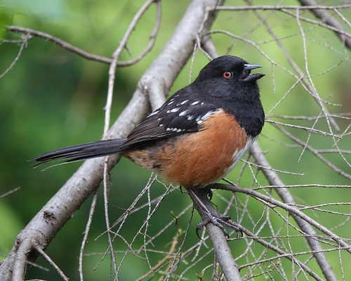 Spotted towhee | by Mike's Birds