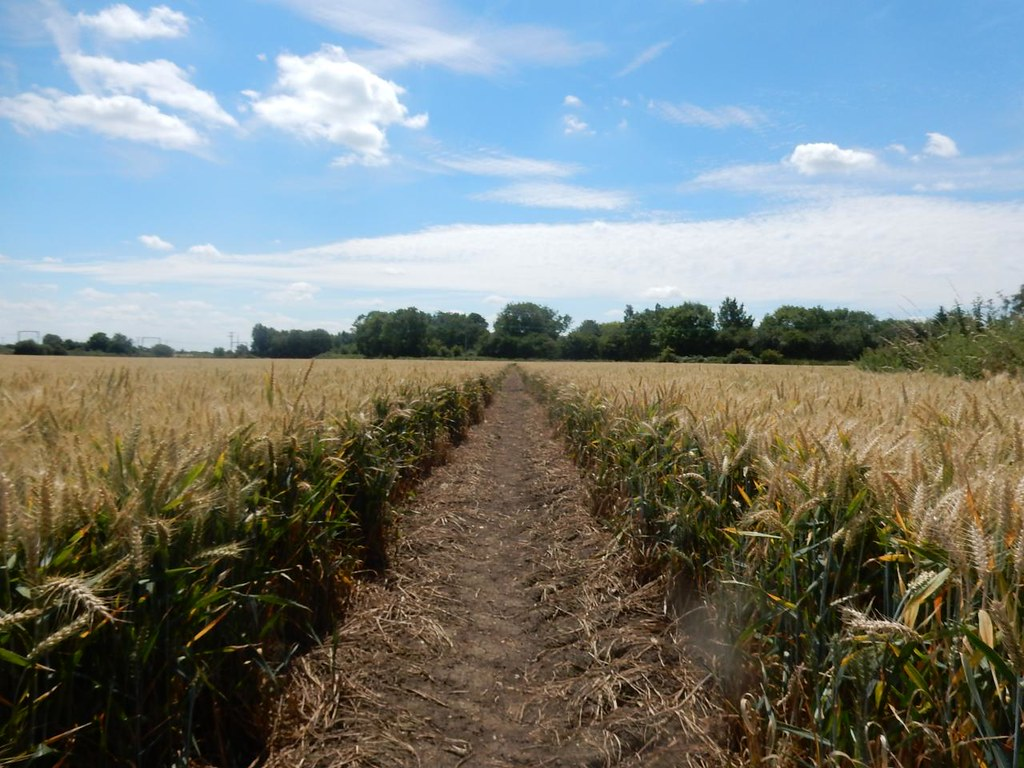 through wheat Ely Circular