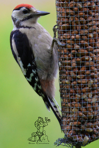 Great Spotted Woodpecker (Dendrocopus major) Juv. 4-7-16 | by Brian Carruthers-Dublin-Eire