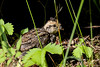Ruffed Grouse (Bonasa umbellus)  Chick by Brown Acres Mark