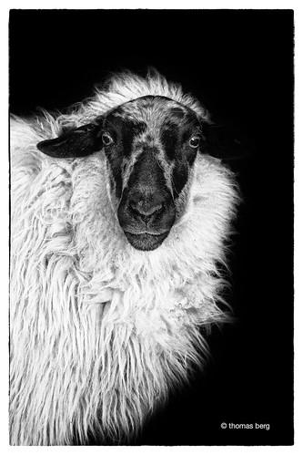 Schaf Portrait