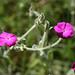 Silene coronaria - Photo (c) orchidsworld, algunos derechos reservados (CC BY-NC-ND)
