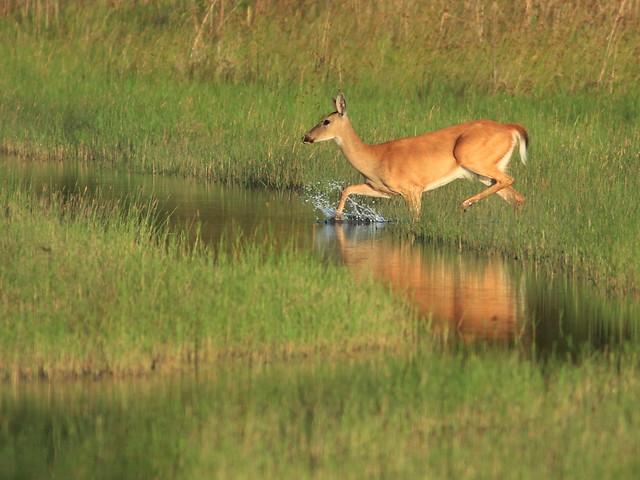 White-tailed Deer doe 05-20170620