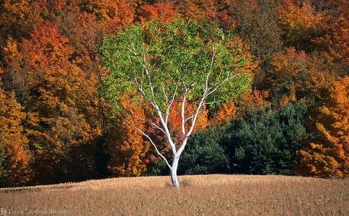 gaylord mi michigan october upnorth vacation autumn fall fallcolors fallfoliage landscape leafpeeping nature travel tree whitetree