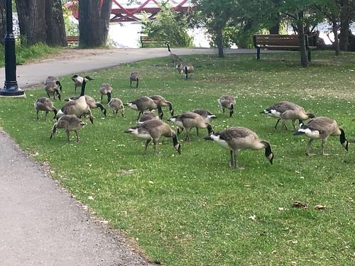 Geese in Calgary