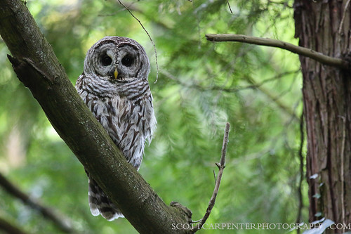 Northern saw-whet owl - Wikipedia, the free encyclopedia ...  Owls Portland Oregon