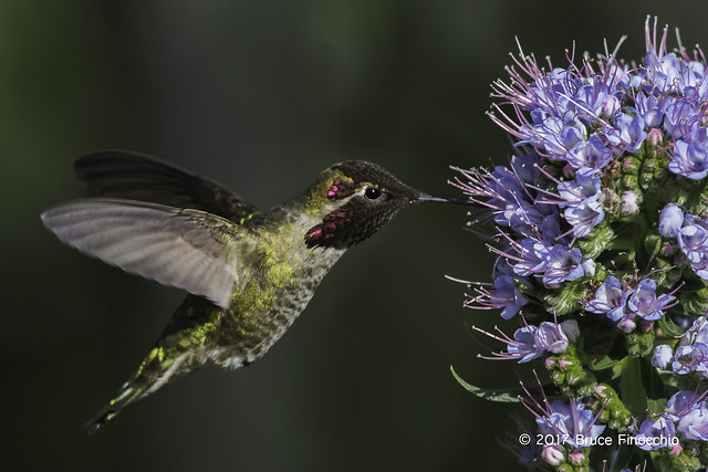 Male Anna's Hummingbird Sips Nectar From A Pride Of Madera Blossom