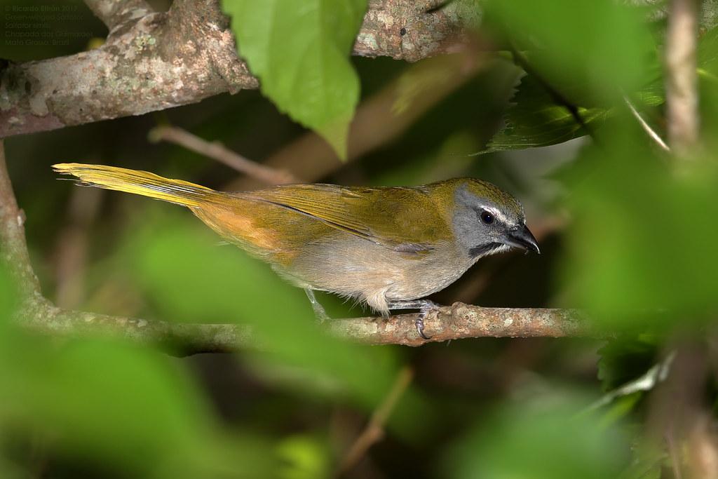 Green-winged Saltator (Saltator similis) Chapada dos Guimaraes, Mato Grosso 2017