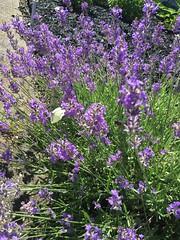 Pretty visitor to my #lavender. #butterfly #garden #ilovelavender