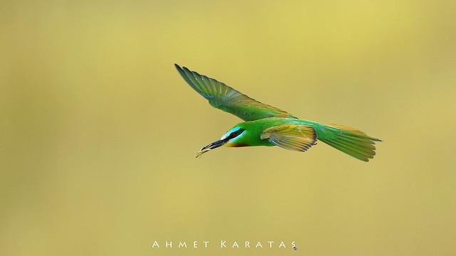 Merops persicus - Yeşil Arıkuşu