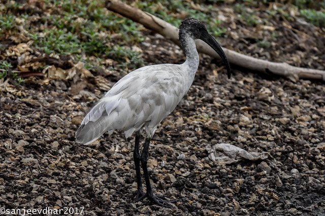 black-headed ibis or Oriental white ibis (Threskiornis melanocephalus)