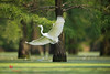 Intermediate Egret (Mesophoyx intermedia) 中白鹭 zhōng bái lù by China (Jiangsu Taizhou)