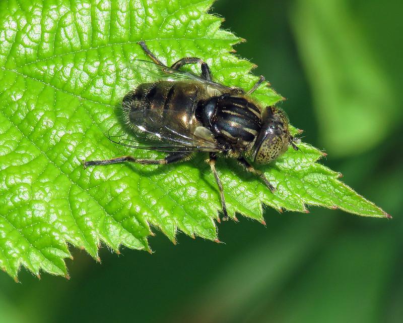 Eristalinus sepulchralis