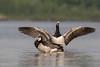 Brandgans (Barnacle goose) by Thornspic