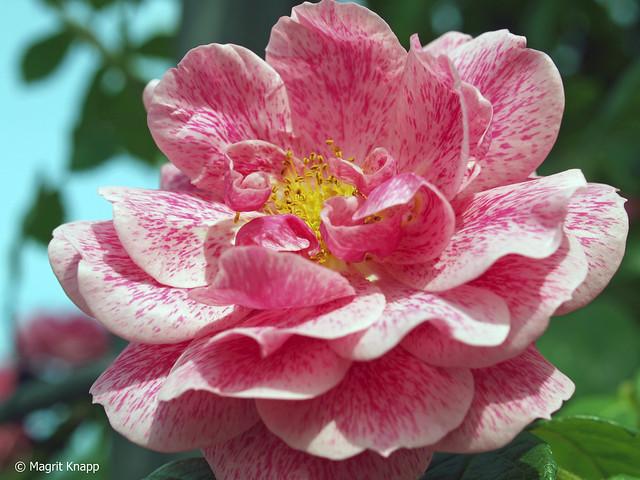 BUGA Britzer Garten Rose