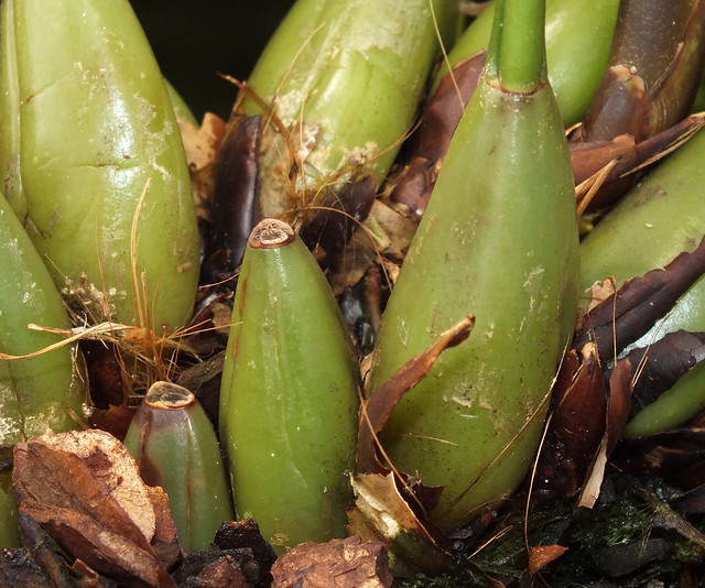 Mrs. Moss orchid (Coelogyne mossiae) pseudobulbs