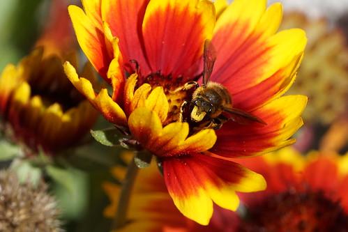 Busy Bee   by floydbloke