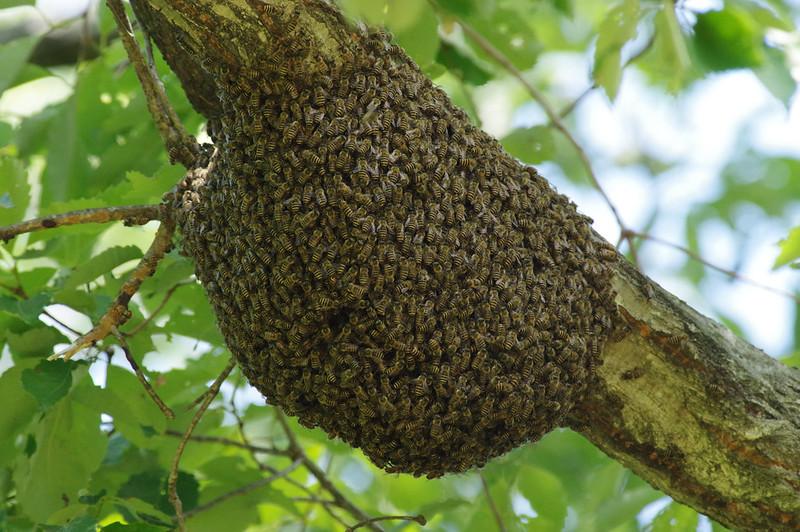 Swarm of Apis cerana japonica