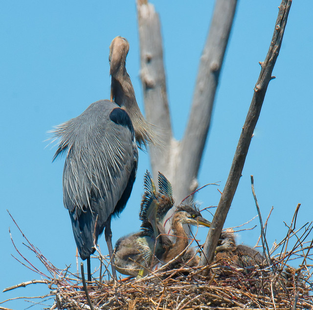 Grand Héron, Great Blue Heron