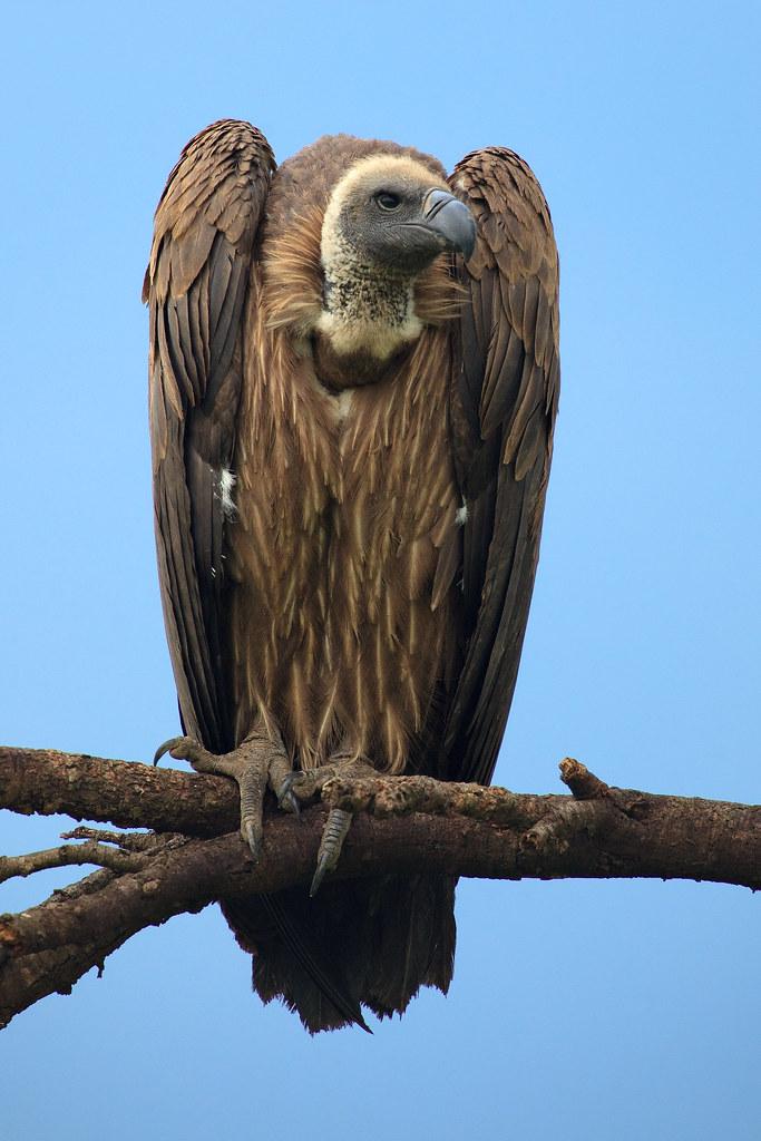 Image: Vulture Vigilance