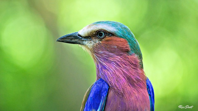 Lilac Breasted Roller: Turning Head