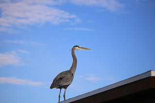 GREAT BLUE HERON #4 | by cuatrok77