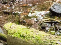 2017/06/10 (土) - 14:09 - ミソサザイ ー 軽井沢野鳥の森