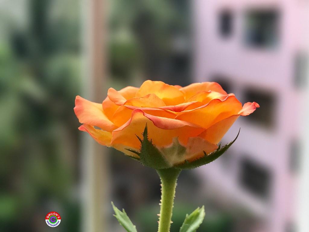 Flower Petal Rosé Rose - Flower Focus On Foreground Nature…   Flickr