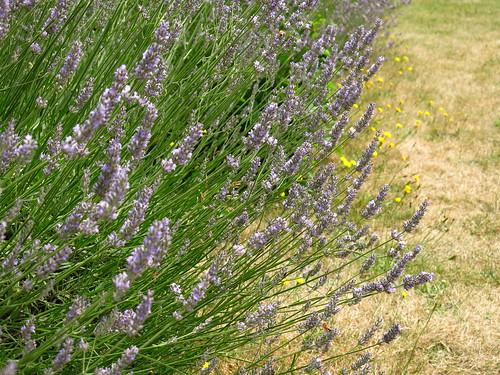 Vauxhall Park Lavender Garden   by Laura Nolte