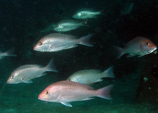 Many Red Snapper | by MyFWCmedia