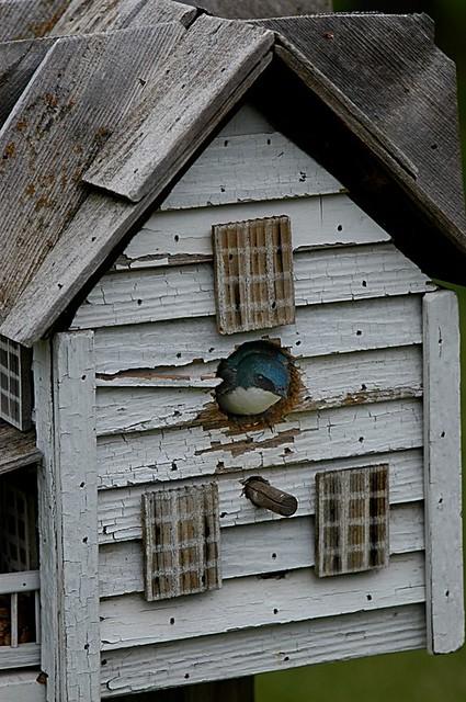 Tachycineta bicolor (Tree Swallow) nesting in the Leavitt's backyard nest box