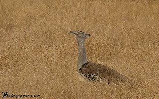 Kori Bustard | by Guillermo V Soto