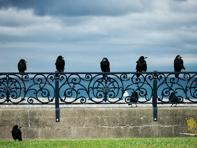 A parliament of Rooks