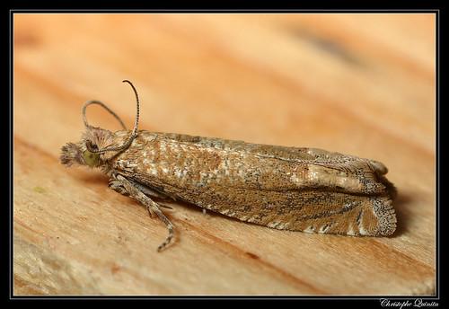 Pelochrista caecimaculana