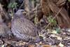 Natal Francolin (Pternistis natalensis), Kruger National Park, Mpumalanga, South Africa by Daniel J. Field