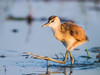 African Jacana (Immature) by Gerhard Theron
