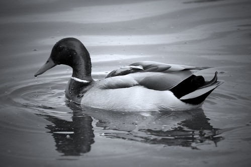 duck simple bird swimming swim swims floating ripple water lake feathers green clear black white bw grayscale monochorme mono edited cropped photo photograph photography ameatur young walk park views view harrold odell country countryside bedford bedfordshire england anglia uk unitedkingdom greatbritain waters 2017 nikon coolpix reflection reflective lonely gracefully graciously calm may spring summer beak droplets drifting beautiful flickr