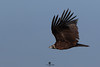 Cinereous vulture (Aegypius monachus) - Buitre negro (Aegypius monachus) by Juan María Coy